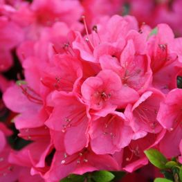 Rhododendron (AJ) Little Red