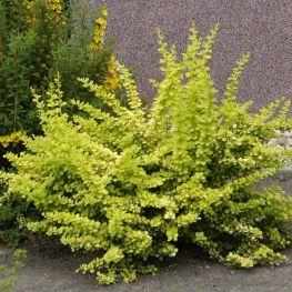 Arbust Berberis Aurea