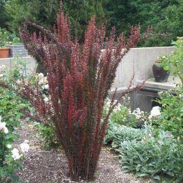 Arbust Berberis Red Pillar