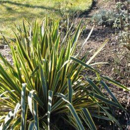 Yucca de Gradina Variegata