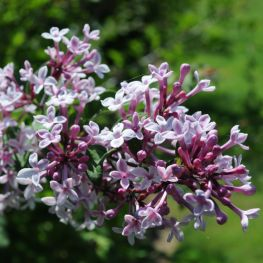 Liliac Syringa microphylla Superba