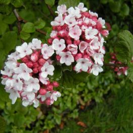 Arbust Viburnum carlesii Aurora