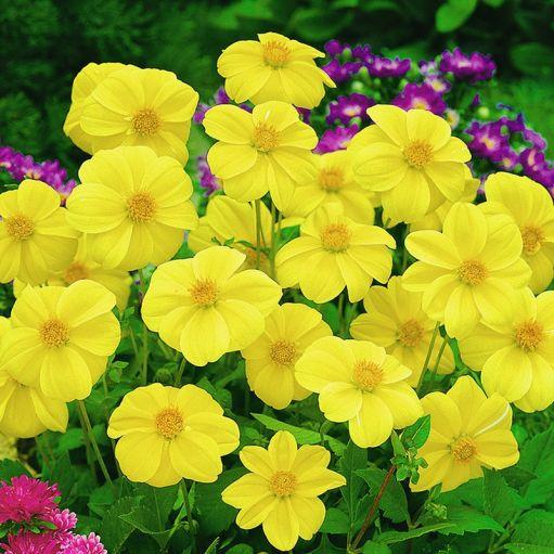 Dalia Yellow Sneezy