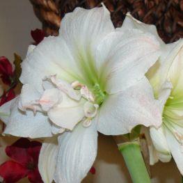 Crin Amaryllis Bianco