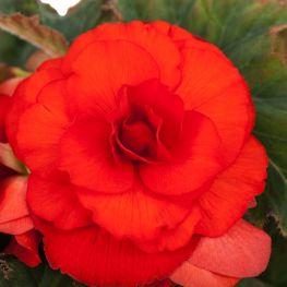 Begonia Grandiflora Scarlatto