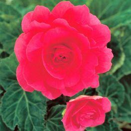 Begonia Grandiflora Rosa