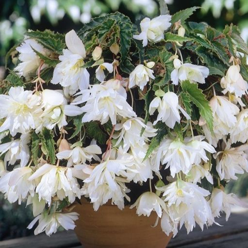 Begonia Pendula Bianco