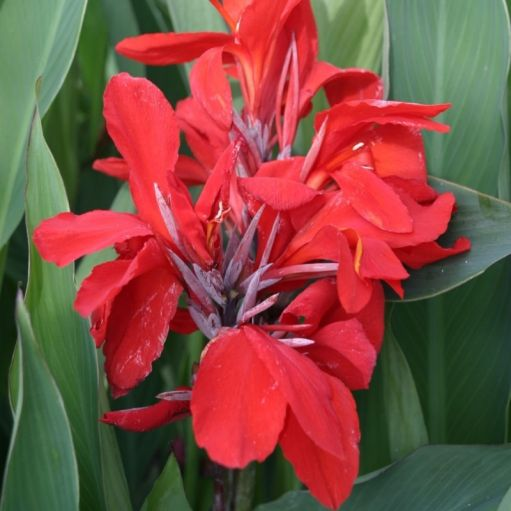 Canna Giant Red