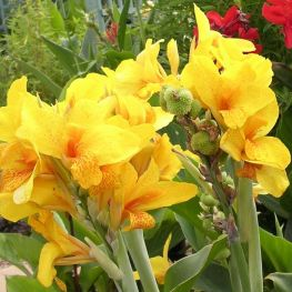 Canna Golden Girl