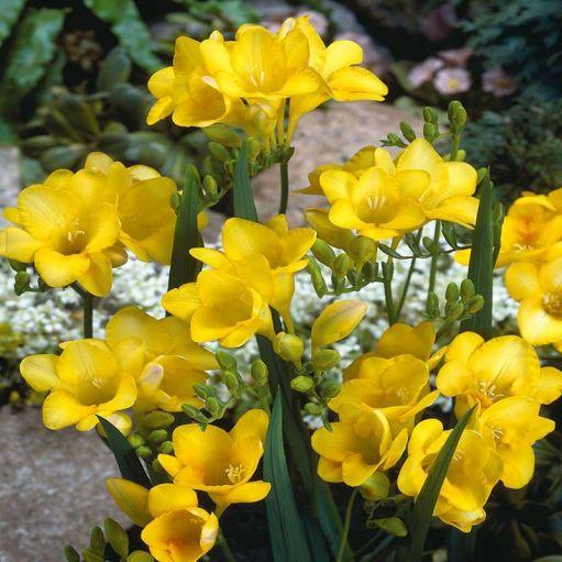 Frezie Single Yellow