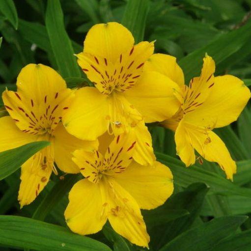 Crin Peruvian Aurea lutea