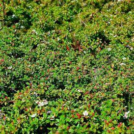 Barcoace Cotoneaster dammeri Skogholm