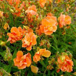 Helianthemum Orange Double