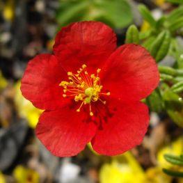 Helianthemum Red Dragon