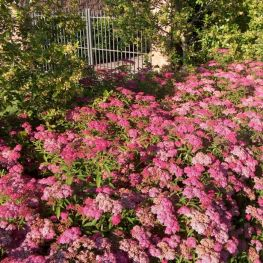 Cununita Spiraea Anthony Waterer