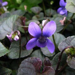 Toporas Viola labradorica