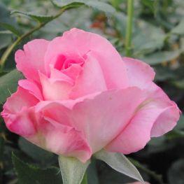 Trandafir teahibrid Aurelia