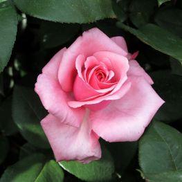 Trandafir teahibrid Carina