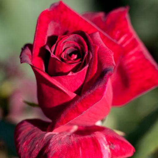 Trandafir teahibrid Meicesar