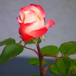 Trandafir teahibrid Nostalgie