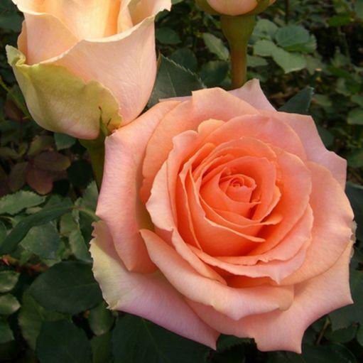 Trandafir teahibrid Versilia