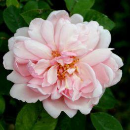 Trandafir istoric Albertine
