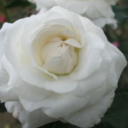 Trandafir istoric Boule de Neige