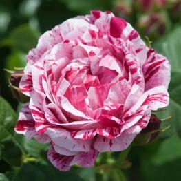 Trandafir istoric Ferdinand Pichard