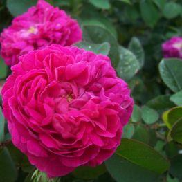 Trandafir istoric Rose de Resht