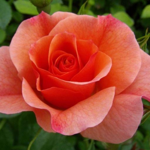 Trandafir floribunda Alison