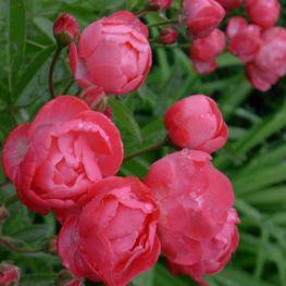 Trandafir floribunda Dick Koster