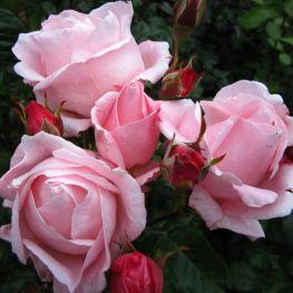 Trandafir floribunda Queen Elizabeth