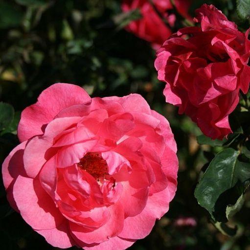 Trandafir floribunda Tom Tom