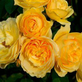 Trandafir romantic Ausmas