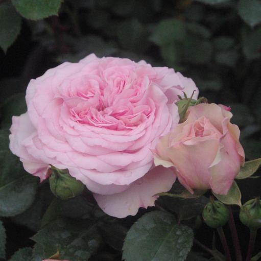 Trandafir romantic Diadal