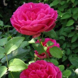 Trandafir romantic Macbeth