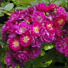 Trandafir urcator Perennial Blue