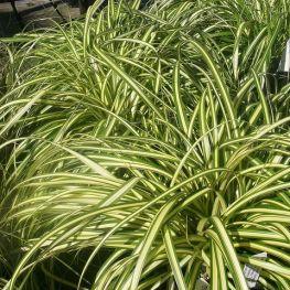 Iarba Bicolora Carex Morowii Aureovariegata