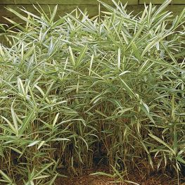 Bambus Pleioblastus Variegatus