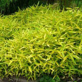 Bambus Pitic Auricoma