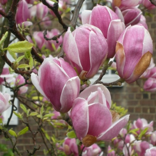Magnolia Soulangeana 'Rustica Rubra'