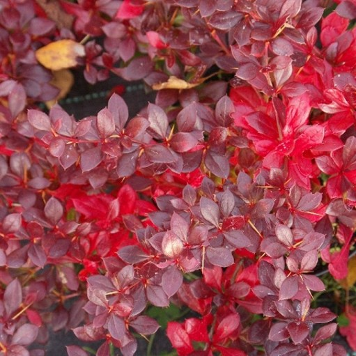 Dracila Red Juwel