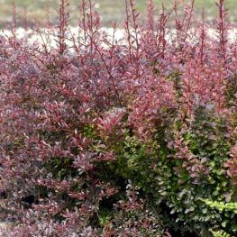 Dracila Japoneza cu frunze rosii
