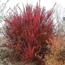 Dracila Berberis Red Rocket