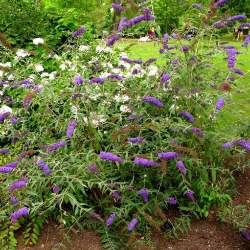 Liliac de Vara Nanho Blue