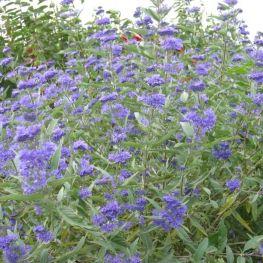 Arbust Caryopteris clandonensis