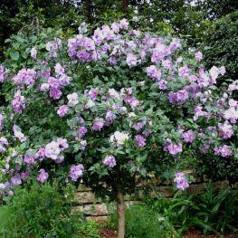 Hibiscus Ardens