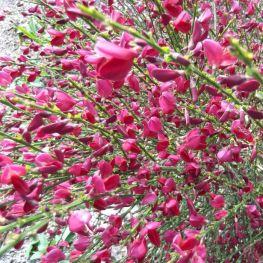Matura Cytisus 'Boskoop Ruby'