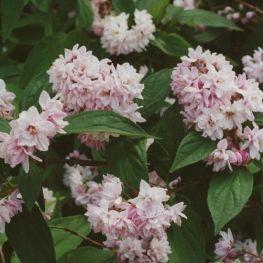 Arbust Deutzia Pink Pon Pon