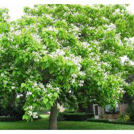 Arbore Trompeta